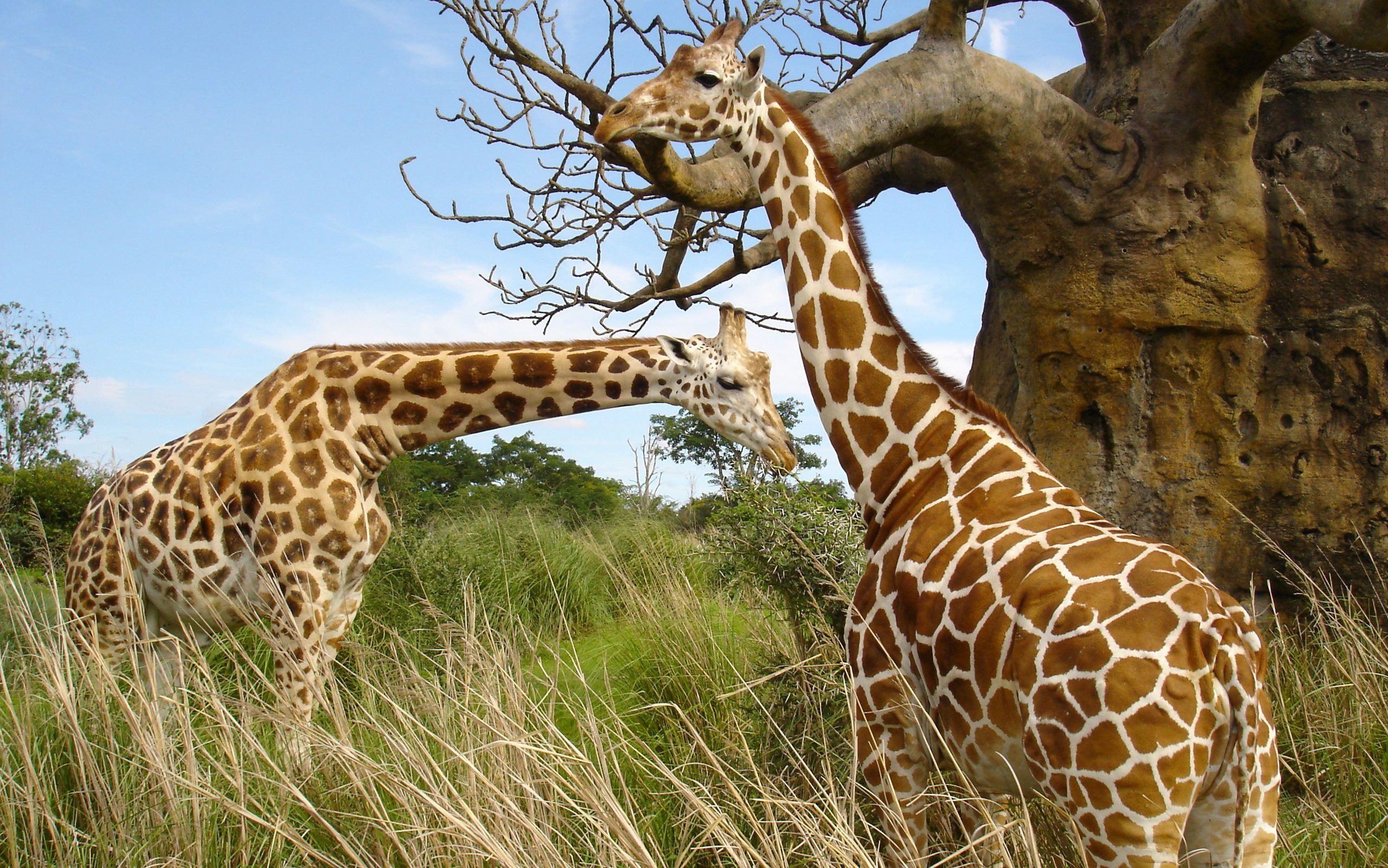 长颈鹿,,,动物壁纸,照片,下载
