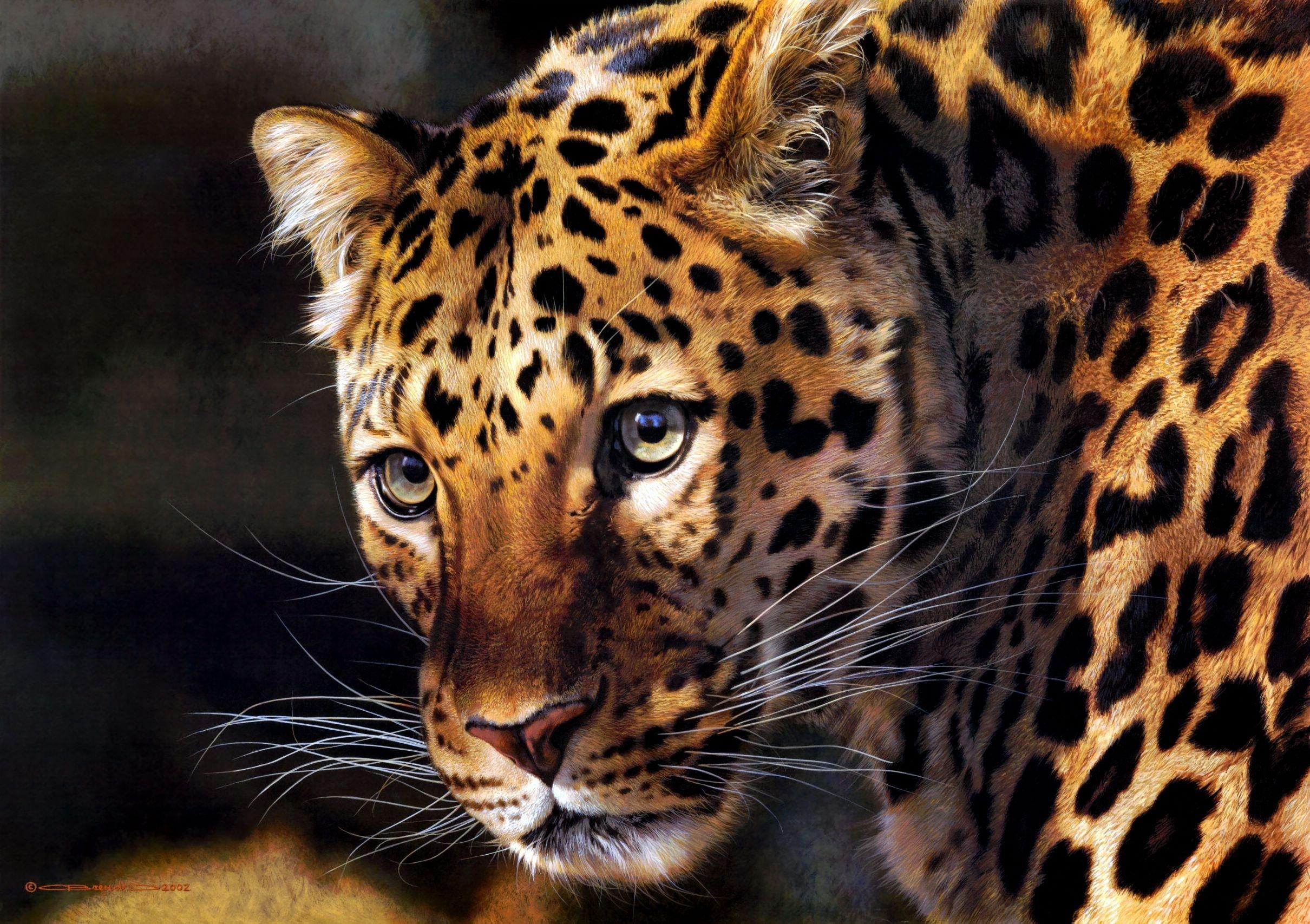 Animales Felino Leopardos Fondo De Pantalla Fondos De: Fondos De Pantalla 2420x1707 Grandes Felinos Leopardo