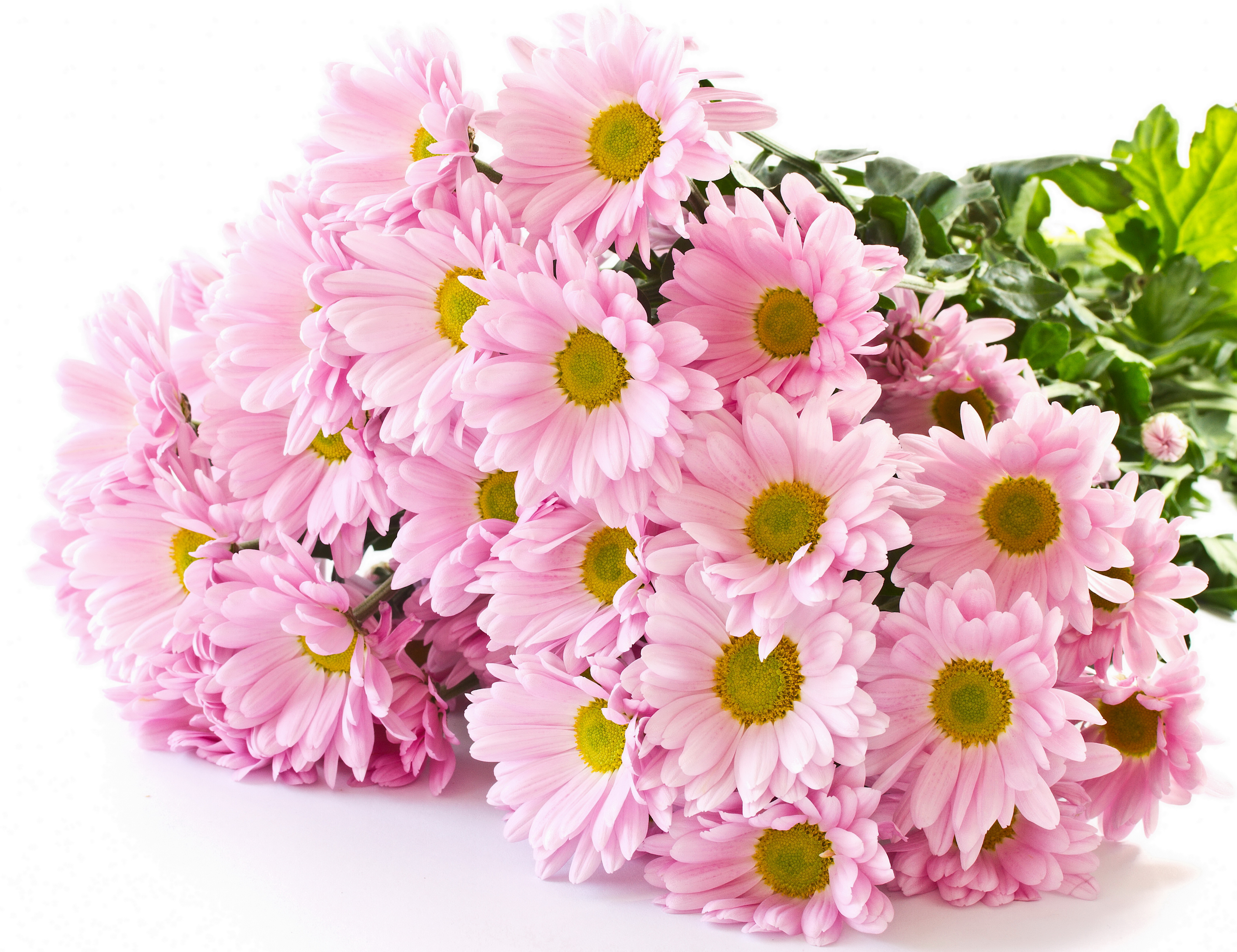 Wallpaper pink color flowers camomiles 6060x4665 mightylinksfo
