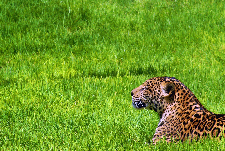 images jaguars big cats animals 3000x2008