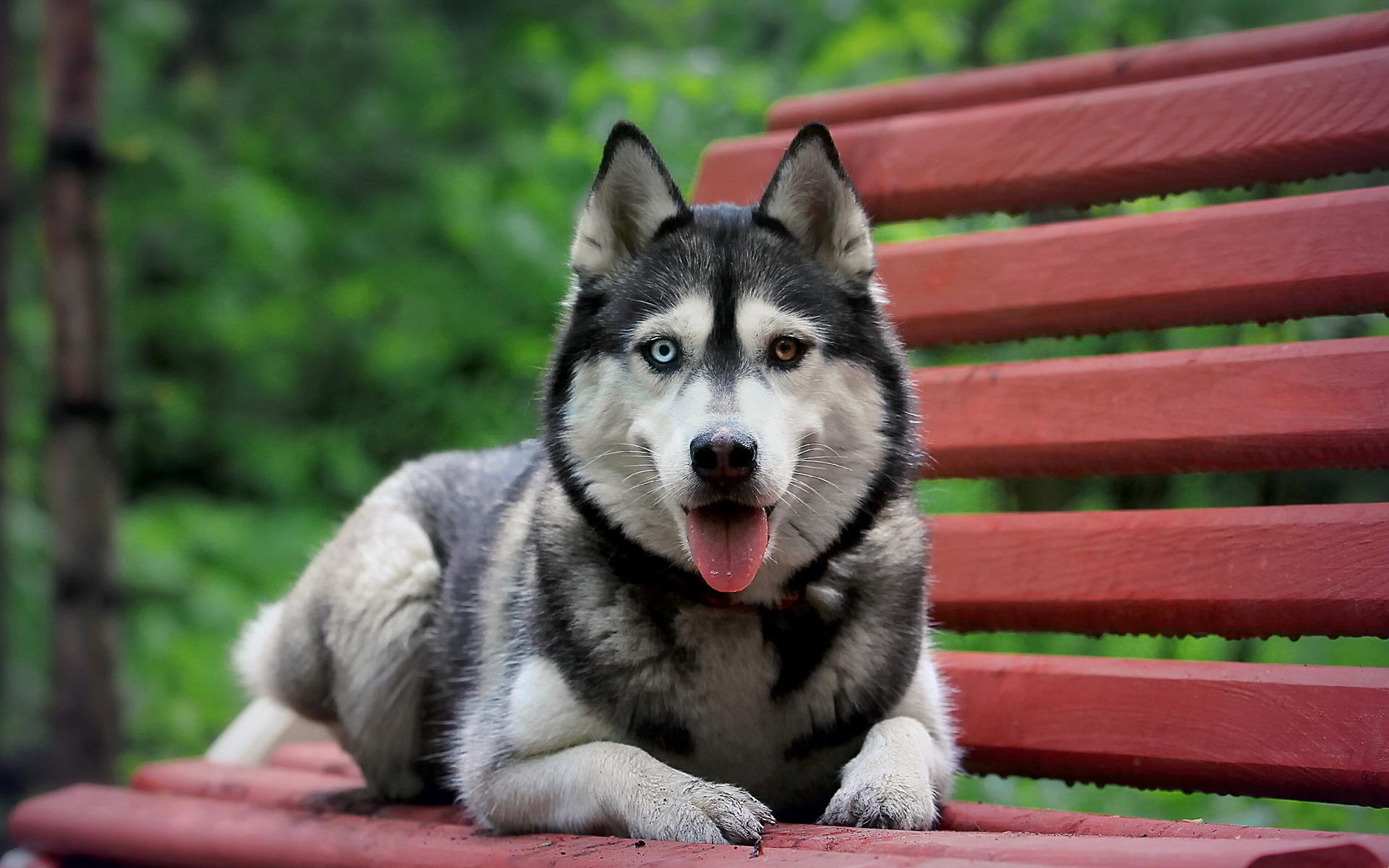 Perros Husky Siberiano Fondos De Pantalla Hd De Animales 2: Fonds D'ecran Chien Husky Sibérien Animaux Télécharger