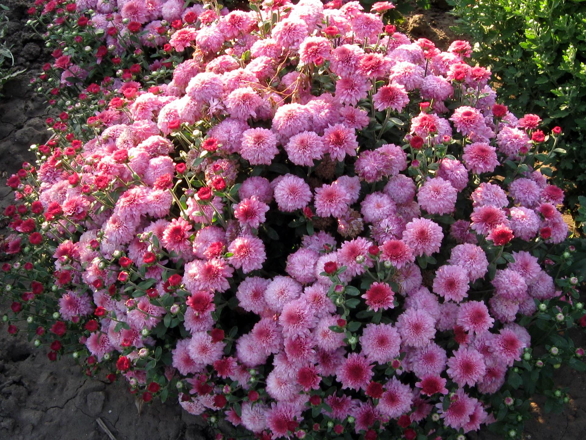 Descargar Fondos De Pantalla Para Pc Flores: Fondos De Pantalla 1920x1440 Crisantemos Flores Descargar