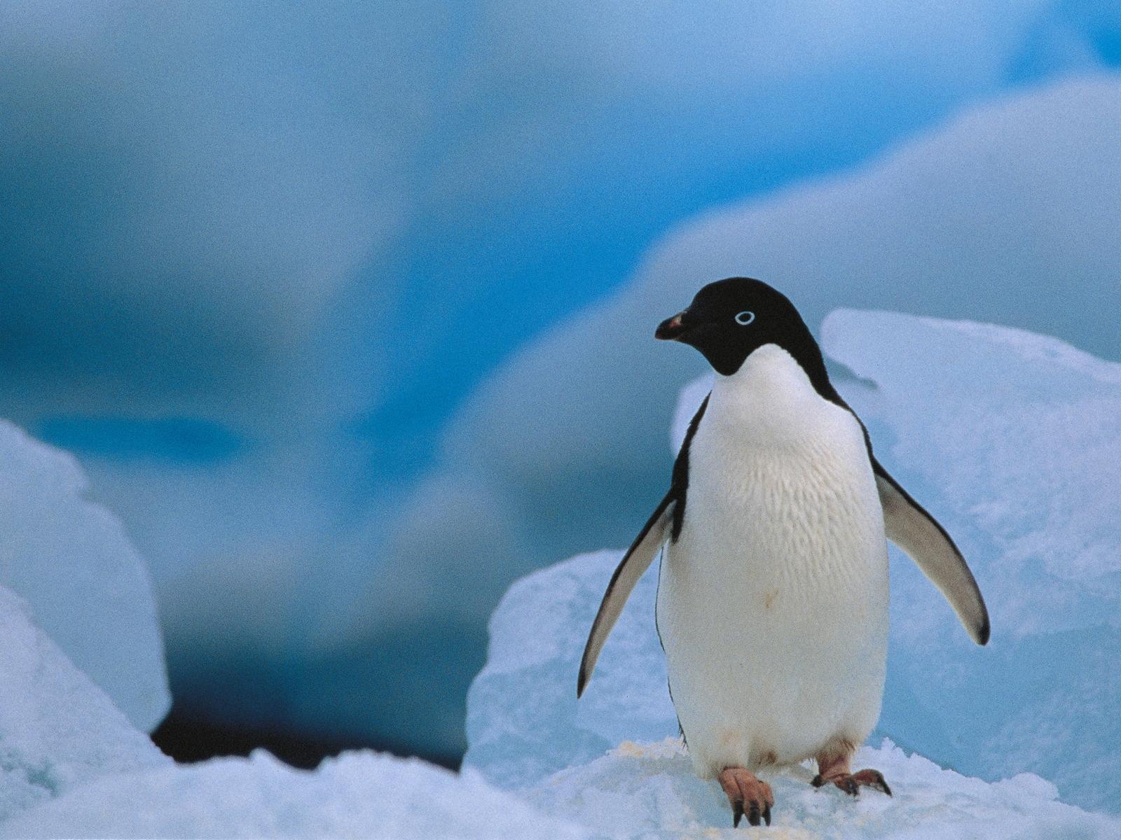 壁紙 1600x1200 ペンギン 動物 ダウンロード 写真