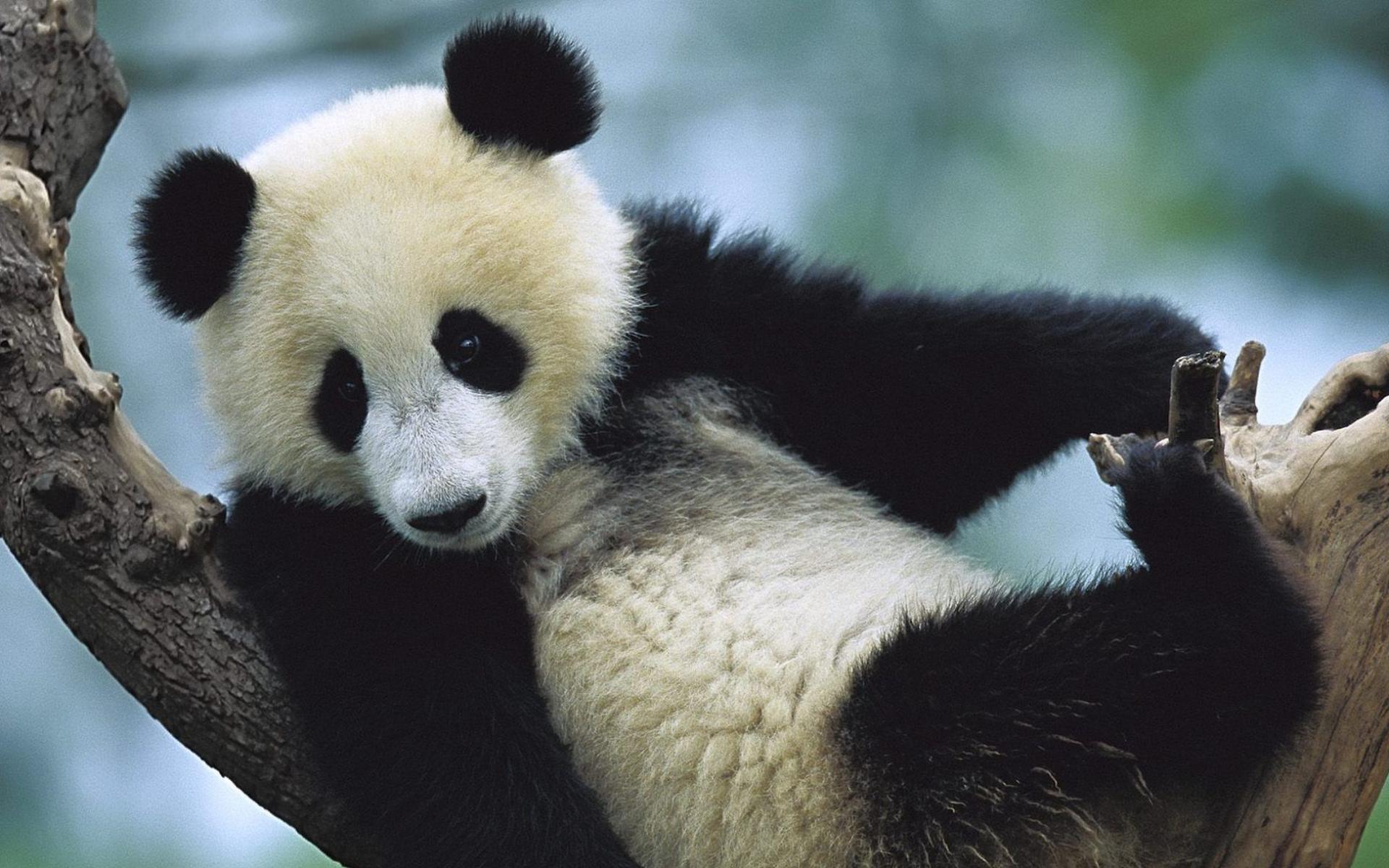 Desktop Wallpapers Giant Panda Bear Animals