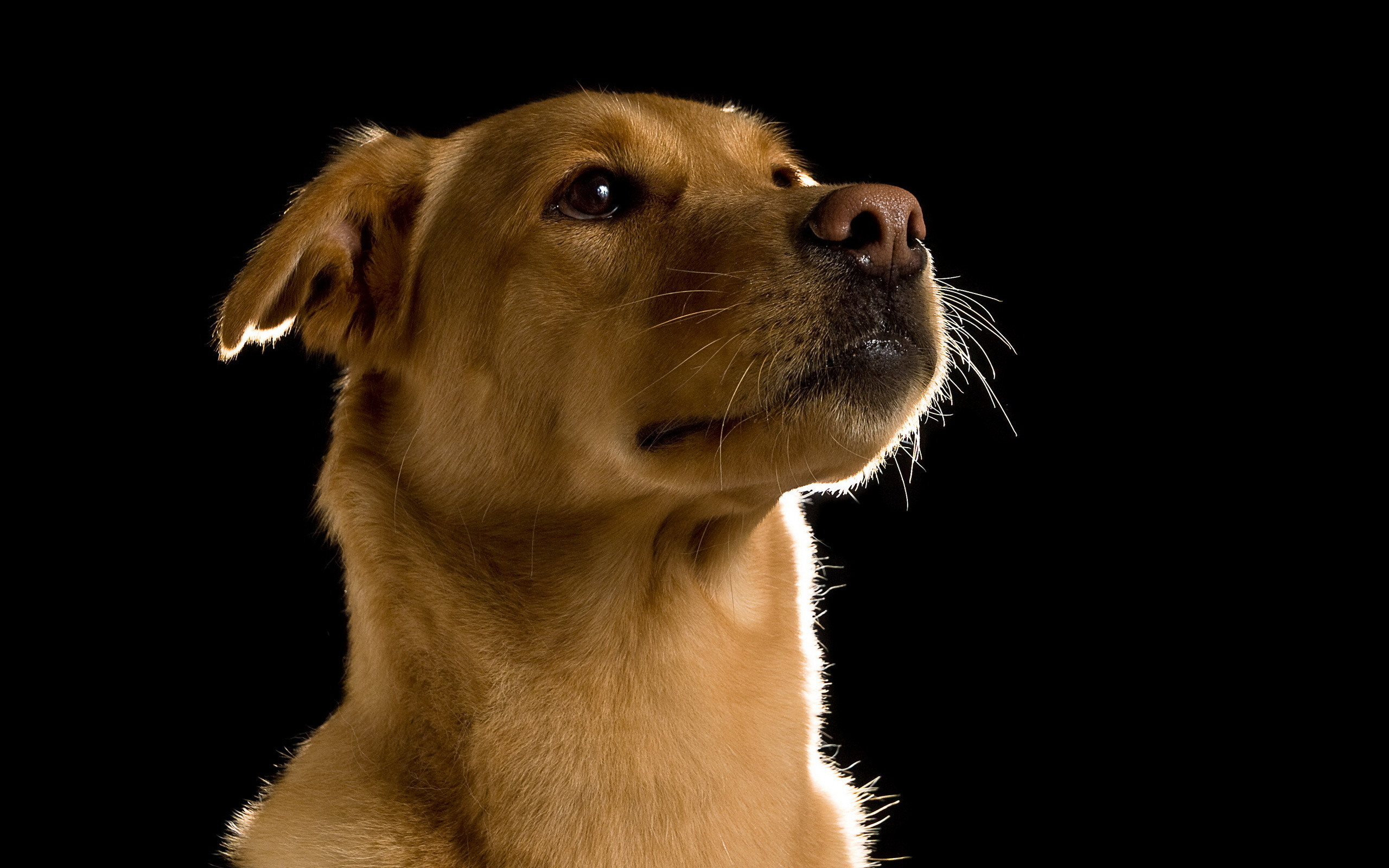 Fondos de pantalla 2560x1600 perro fondo negro animalia for Fondos de pantalla de perritos