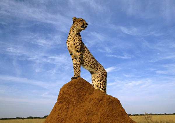 hintergrundbilder gepard große katze tiere