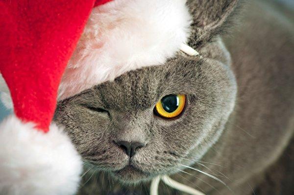 Fonds d 39 ecran chat domestique nouvel an chapeau d 39 hiver for Fond ecran hiver animaux