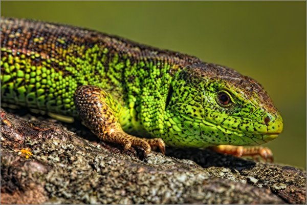 22 reptile hd wallpapers - photo #13