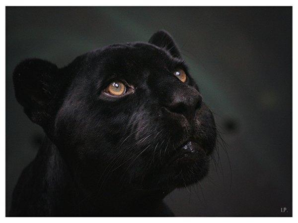 Fondos De Pantalla De Felinos: Fondos De Pantalla Grandes Felinos Pantera Negra Animalia