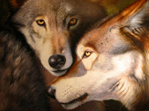 Photo Wolves Closeup Snout Two animal