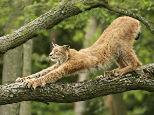 Hintergrundbilder Große Katze Luchse Ast Tiere