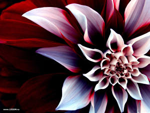 Bilder Dahlien Nahaufnahme Blumen
