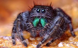 Hintergrundbilder Insekten Webspinnen Springspinnen Tiere