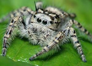 Hintergrundbilder Insekten Webspinnen Springspinnen
