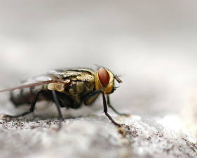 Bureaubladachtergronden Insecten Vlieg