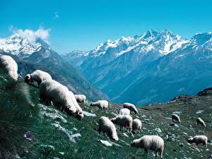Hintergrundbilder Hausschaf Gebirge Tiere