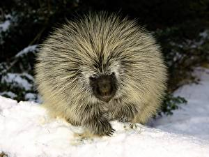 Fotos & Bilder Stachelschweine Tiere fotos