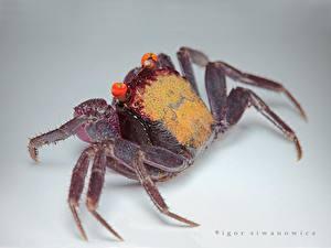Bakgrunnsbilder Leddyr Krabbe Farget bakgrunn