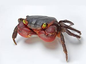 Bakgrunnsbilder Leddyr Krabber - Dyr Hvit bakgrunn