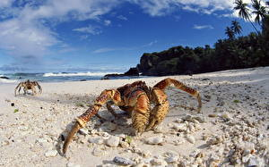 Bakgrunnsbilder Leddyr Krabber - Dyr