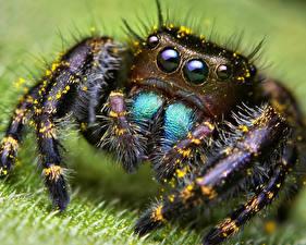 Bilder Insekten Webspinnen Springspinnen