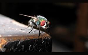 Bureaubladachtergronden Insecten Vliegen een dier
