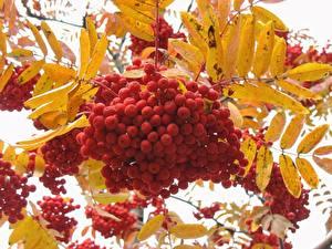 Fotos & Bilder Jahreszeiten Herbst Eberesche Beere Natur fotos