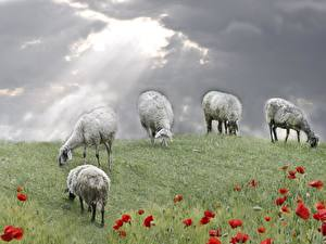 Wallpaper Sheep Grasslands Animals