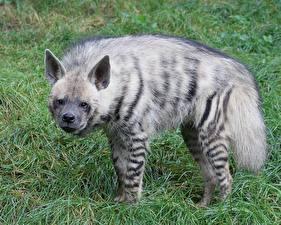 Hintergrundbilder Hyänen
