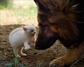 Bilder Katze Hunde Katzenjunges Shepherd