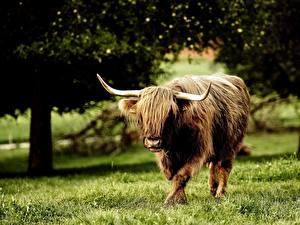 Hintergrundbilder Paarhufer Rinder