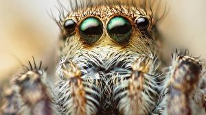 Fotos Augen Webspinnen Springspinnen