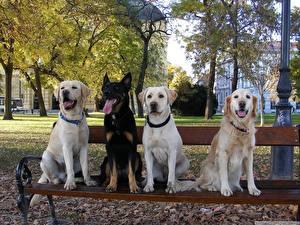Hintergrundbilder Hunde Retriever Shepherd Bank (Möbel) Tiere