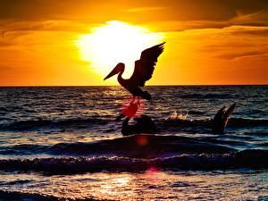 Bilder Vögel Pelikane Meer Sonnenaufgänge und Sonnenuntergänge Sonne Tiere