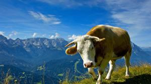 Fotos Rinder Tiere