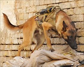 Fotos Hunde Shepherd Heer