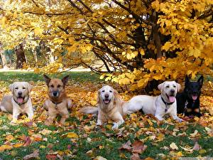 Fotos Hunde Retriever Shepherd Blatt Tiere