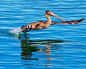 Bilder Vögel Pelikane