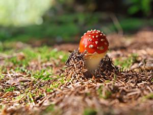 Hintergrundbilder Pilze Natur Wulstlinge
