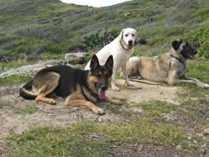 Hintergrundbilder Hunde Retriever Shepherd
