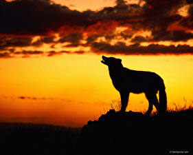 Fotos Wolf Silhouette Tiere
