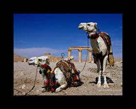 Fotos & Bilder Altweltkamele Tiere fotos