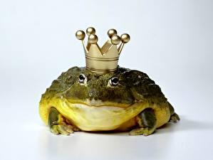 Fotos Frosche Krone lustige