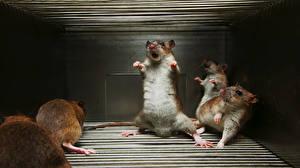 Fotos Ratten Humor