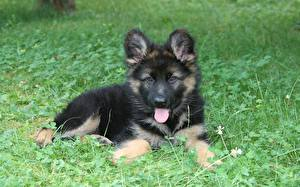 Fotos Hunde Shepherd Welpe