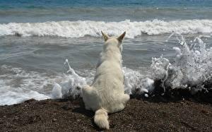 Hintergrundbilder Hunde Shepherd Tiere