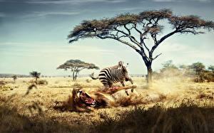 Bilder Afrika Löwe Zebra Humor