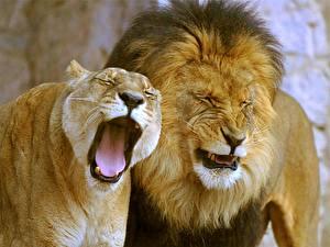 Fotos Große Katze Löwe Löwin Zunge Gähnt Tiere