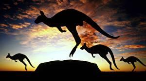 Hintergrundbilder Kängurus Silhouette Tiere