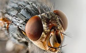 Papel de Parede Desktop Insetos moscas Olhos De perto animalia